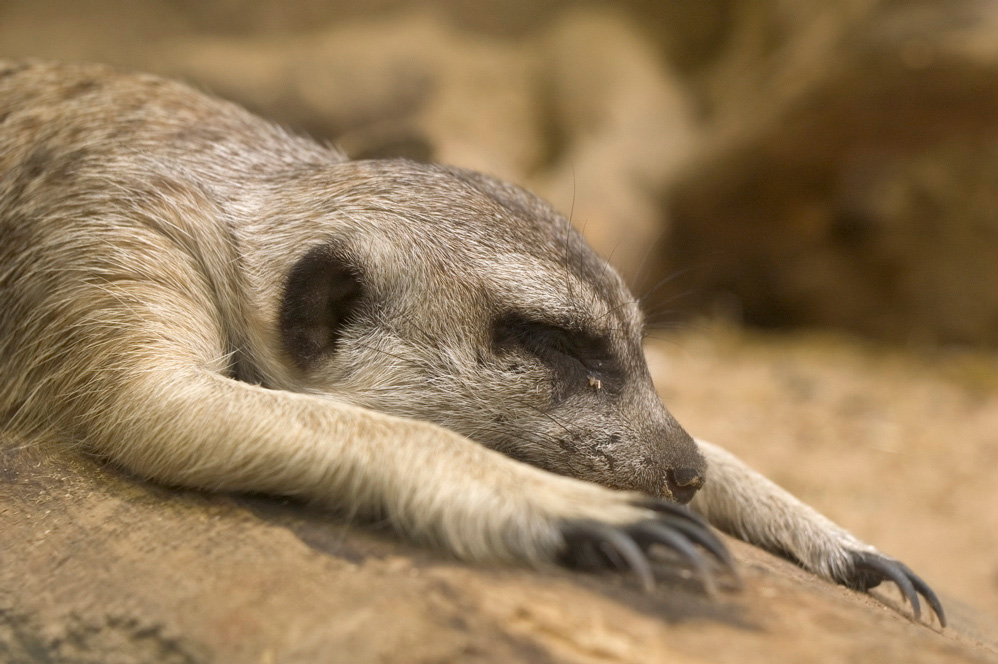 bshort.org - photos: S... Meerkat Pictures To Print