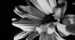 BW - Grainy Flower