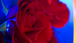 Rose - Blue Flash